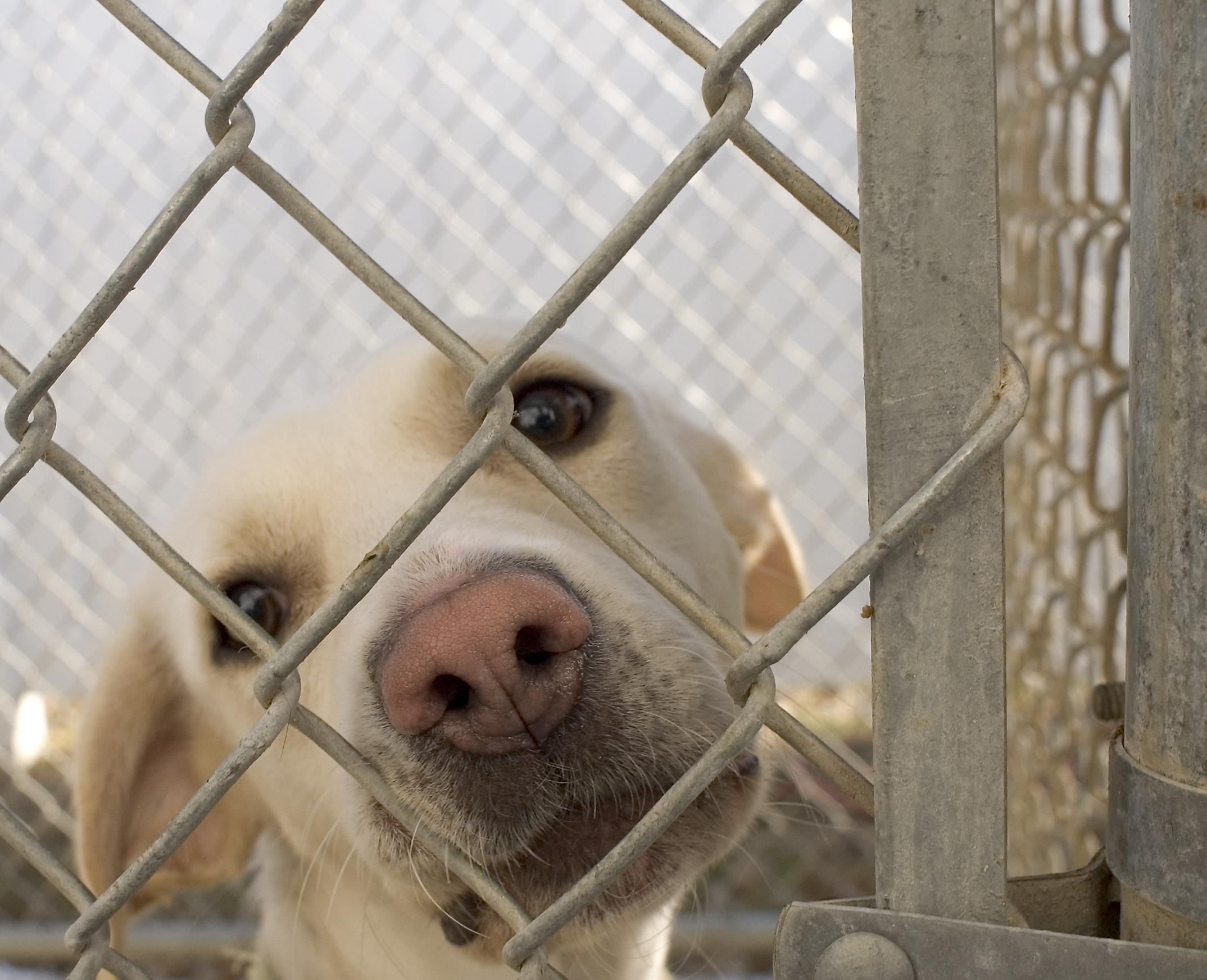 Köpekler neden öksürür
