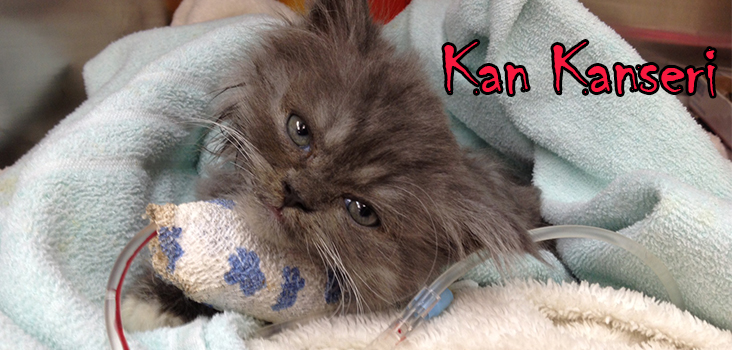 Kedi Lösemi Hastalığı FeLV Feline Leukemia Virus
