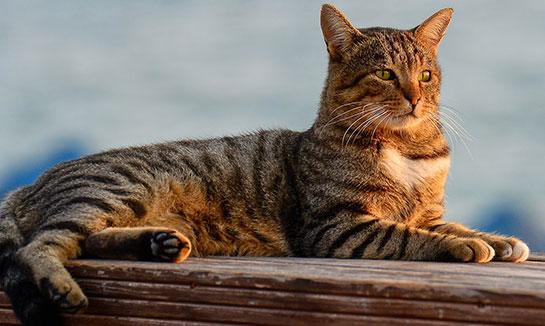 tekir-bekir-kedi