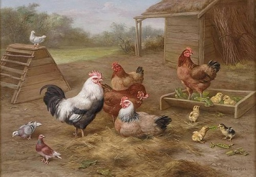 ciftlikteki tavuklar